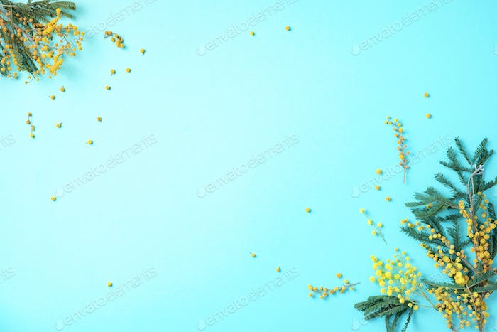 Spring mimosa flowers on blue background. Top view. Copy space. Spring concept. Floral composition