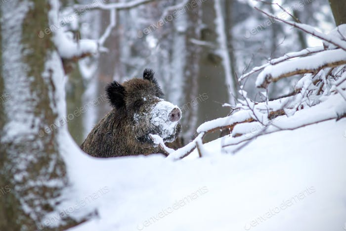 Wild boar in winter peeking out with snow on nose