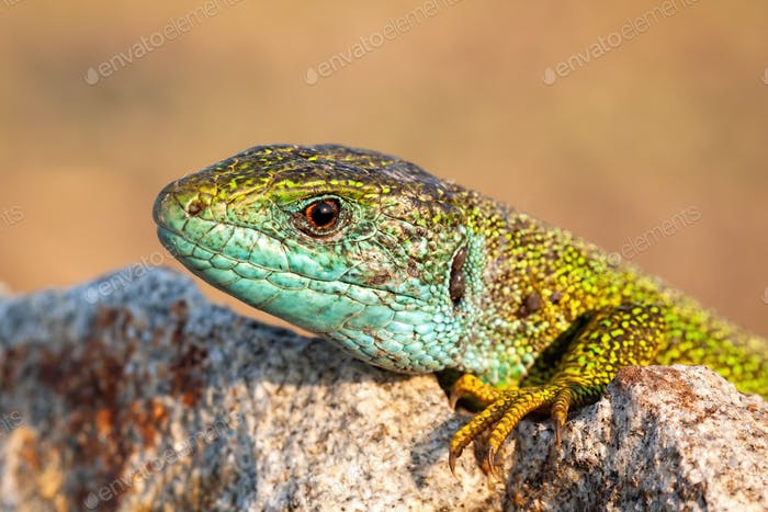 Close-up of a male european green lizard on stone at sunrise