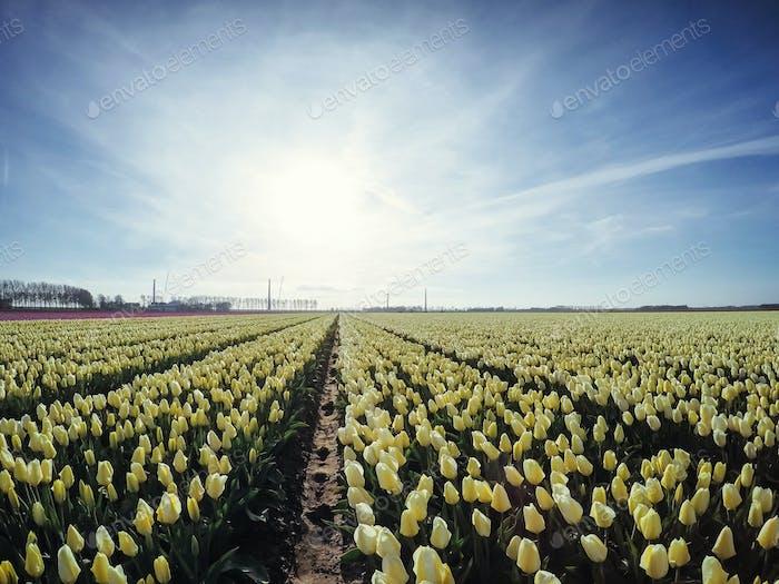 Plantage von Tulpen auf einem Bauernhof in Holland.