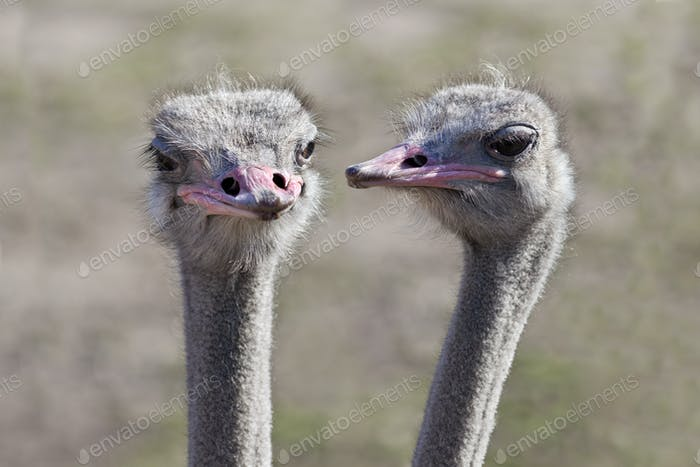 Ostrich Gossip