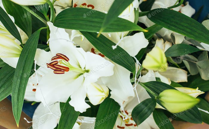 Beautiful white lily flowers on a background of green leaves