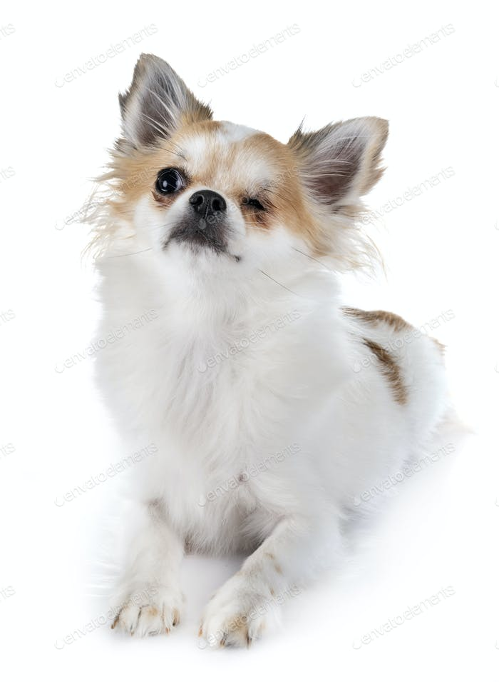 one-eyed chihuahua in studio
