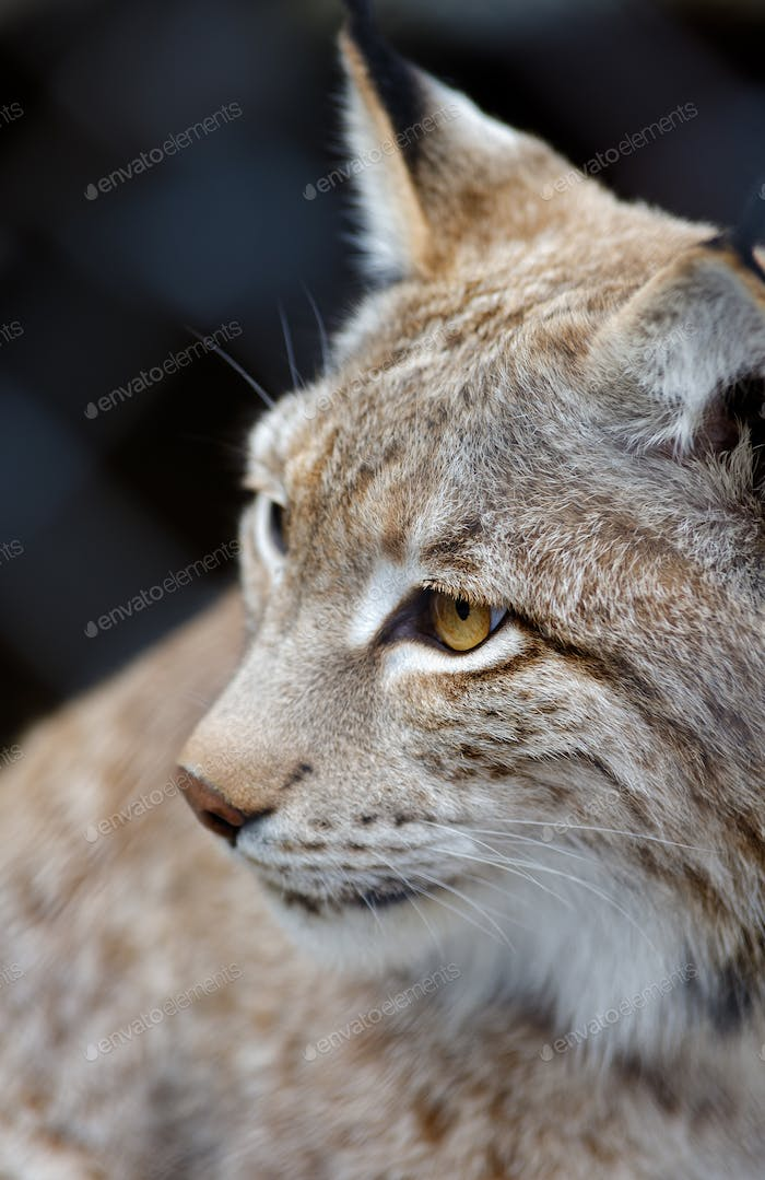 Young lynx close-up portrait