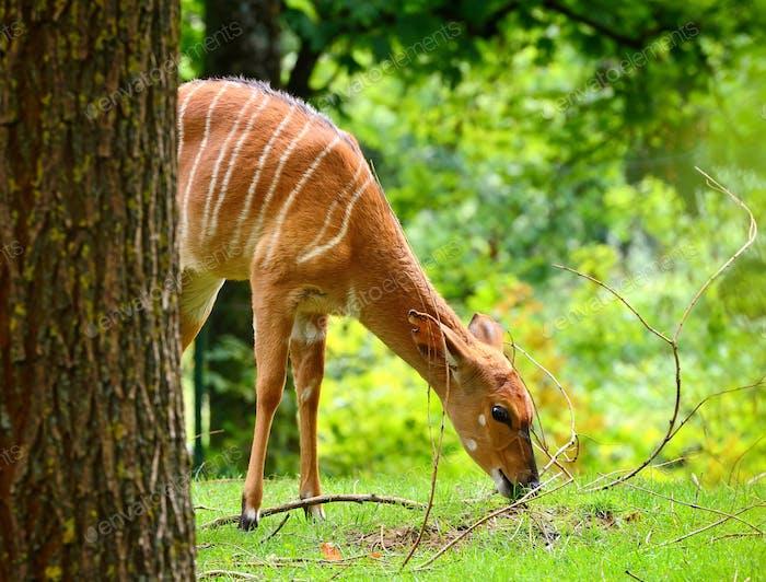 Female nyala antelope (Tragelaphus angasii) eating grass