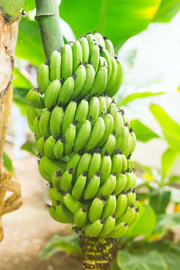 Bunch of green Unripe bananas in the jungle close up