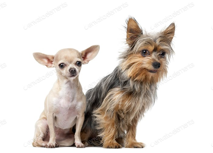 Yorkshire Terrier and  Chihuahua sitting in front of a white background