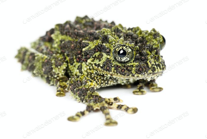 Mossy Frog, Theloderma corticale, also known as a Vietnamese Mossy Frog, or Tonkin Bug-eyed Frog