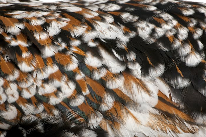 Close-up of Tollbunt tricolor Polish chicken feathers, 6 months old
