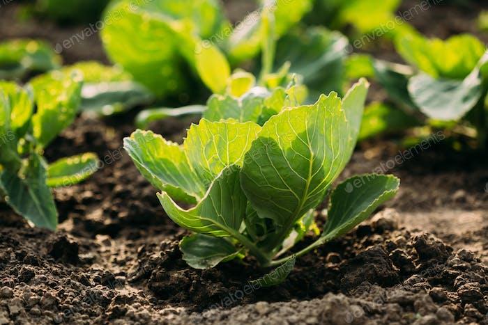 Close Green Vernal Seedlings Of Cabbage Or Brassica Oleracea Pla