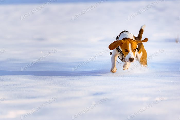 Beagle dog runs and plays on the winter snowy field