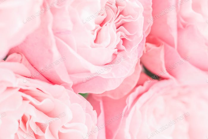 Pink roses macro background. Soft focus. The concept of wedding and Valentines day.