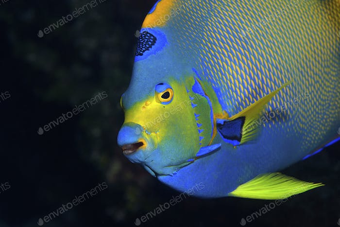 Queen angelfish, Holocanthus ciliaris, on a coral reef in Key Largo, Florida Keys. The queen