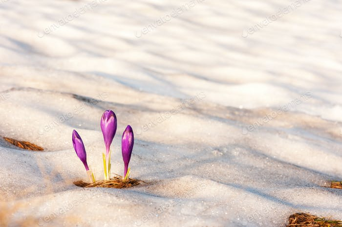 Alone crocus flower in snow