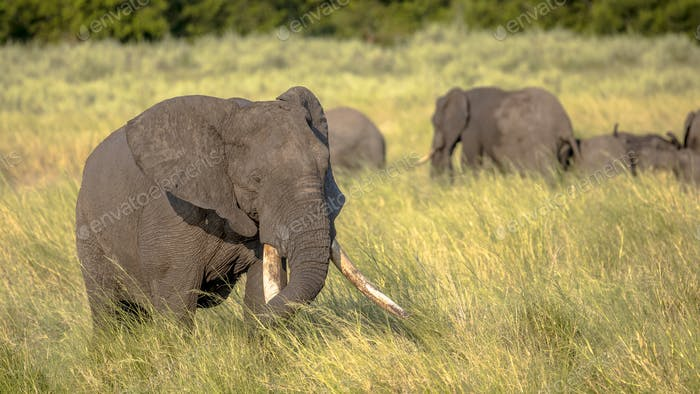 African Elephant on savanna