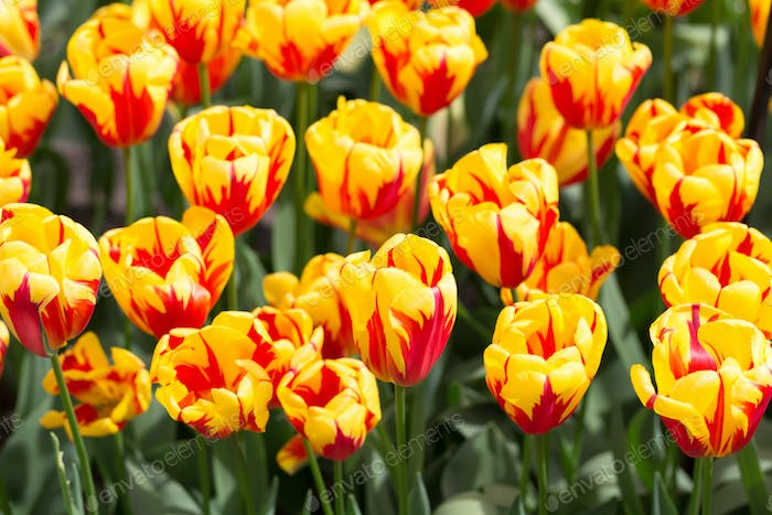 Background of colorful fresh tulips at Keukenhof garden, the Net