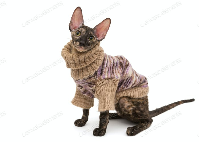 Cat breed Cornish Rex  in  sweater