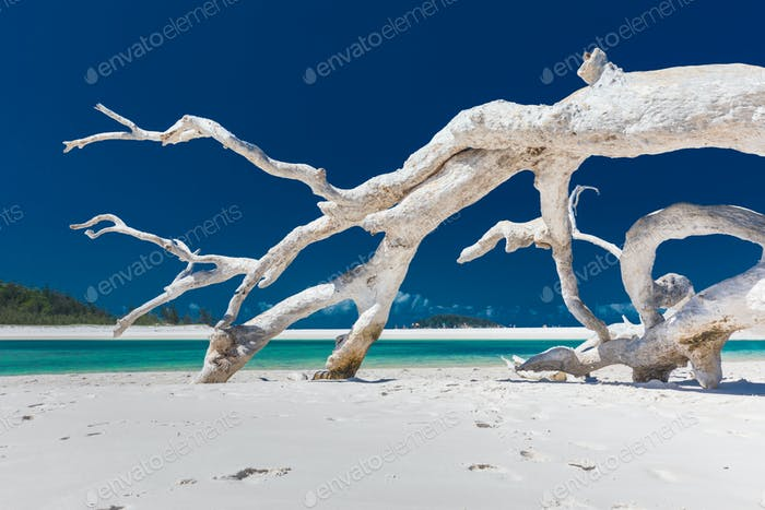 White driftwood tree on amazing Whitehaven Beach with white sand