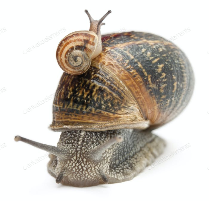 Garden snail with its baby on its shell in front of white background