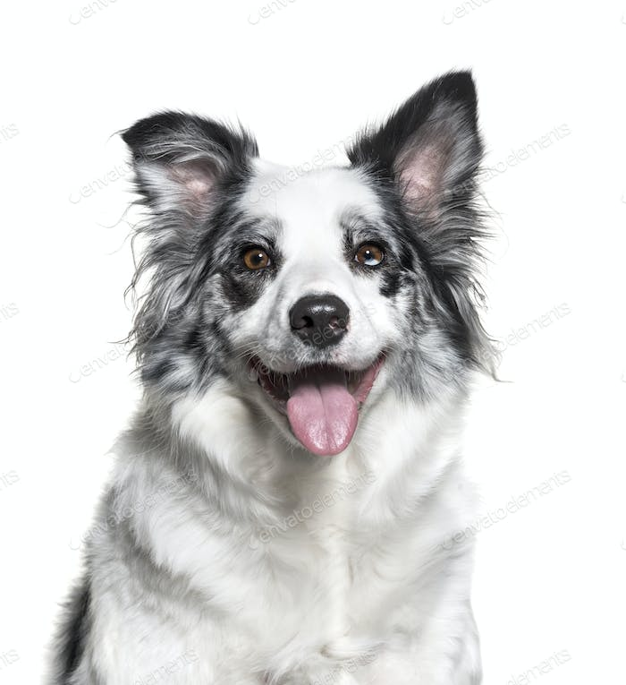 Close-up of a panting Border Collie Dog, cut out