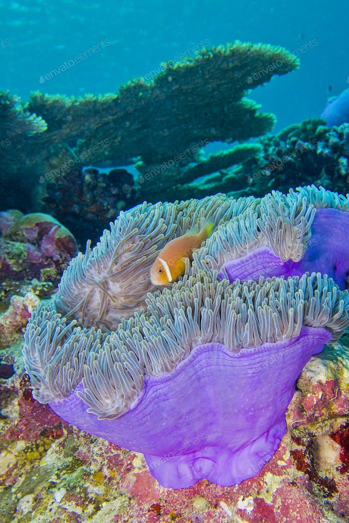 Blackfinned Anemonenfisch, Prächtige Seeanemone, Malediven
