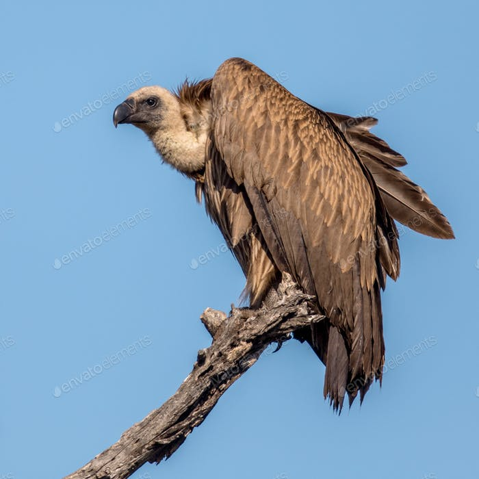 White backed vulture in tree