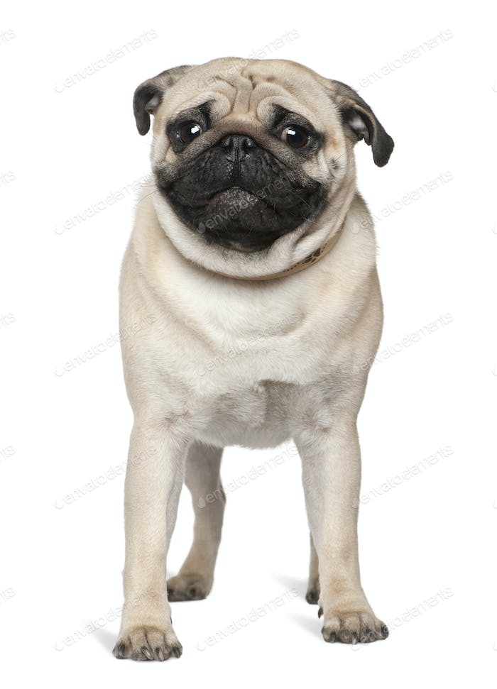 Pug, 1 year old, standing in front of white background