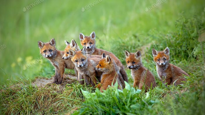 Zorro rojo, vulpes vulpes, cachorros sentados junto a la guarida