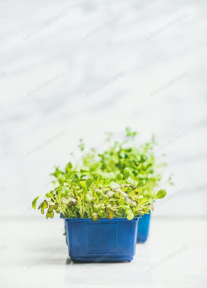Fresh spring green live radish kress sprouts in plastic pots