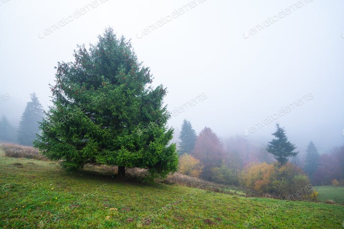 Colorful trees in the Carpathian mountains covered with thick gray fog
