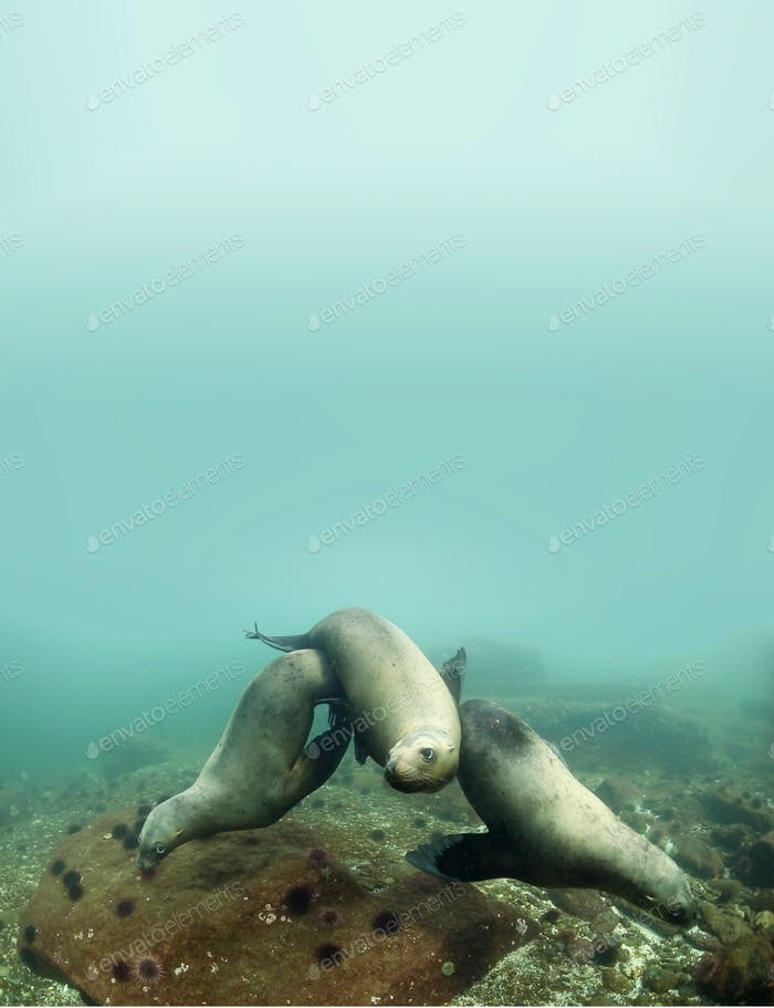 Three Sea Lions Underwater Poster Template