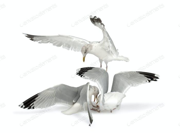 European Herring Gulls, Larus argentatus, 4 years old, in winter plumage fighting