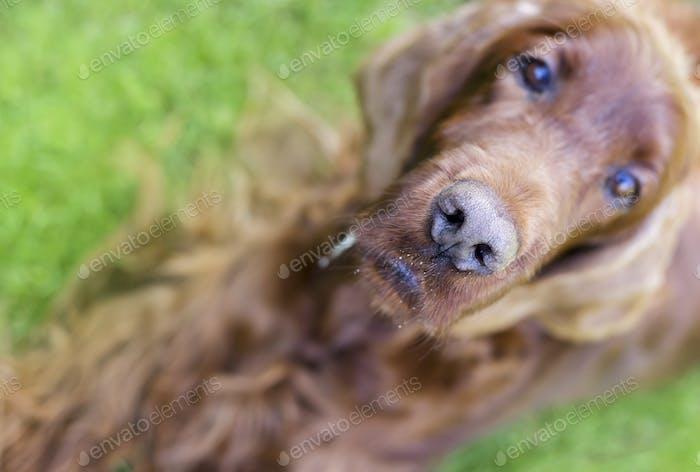 Nose of a curious dog