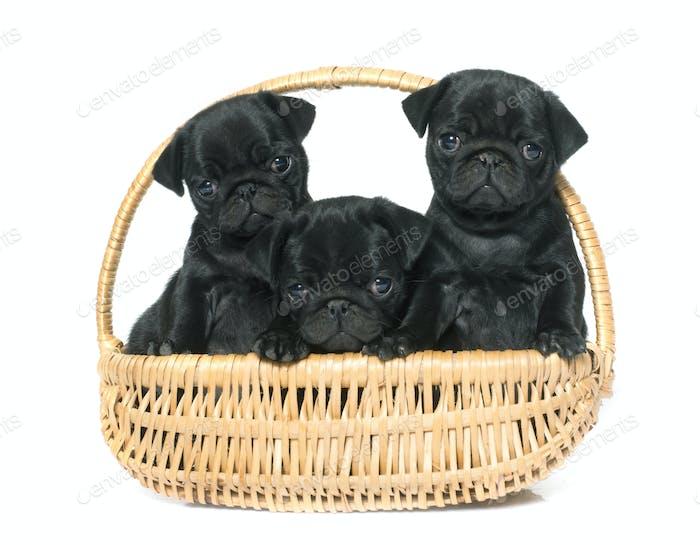 puppies black pug