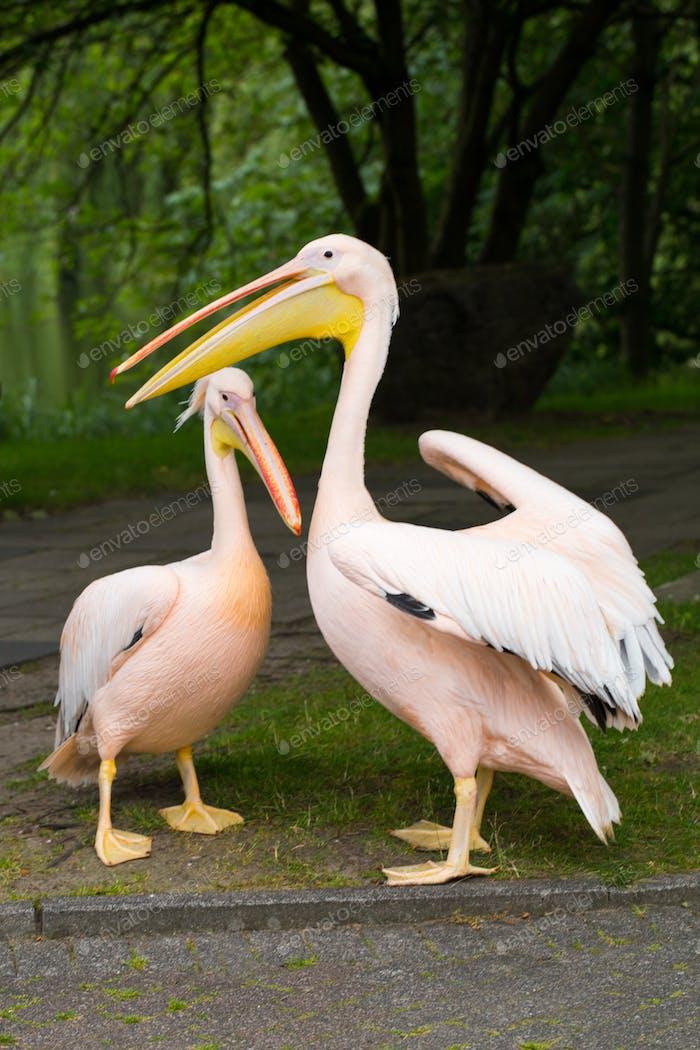 Pelikan. Großer Vogel auf der Beautifyl.