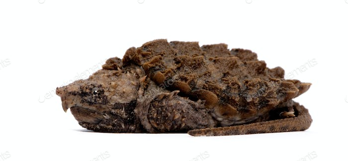 Young Alligator Snapping Turtle - Macrochelys temminckii