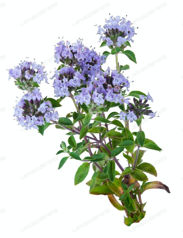 Heilpflanze: Thymian