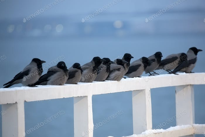 Hooded Crows in the wild