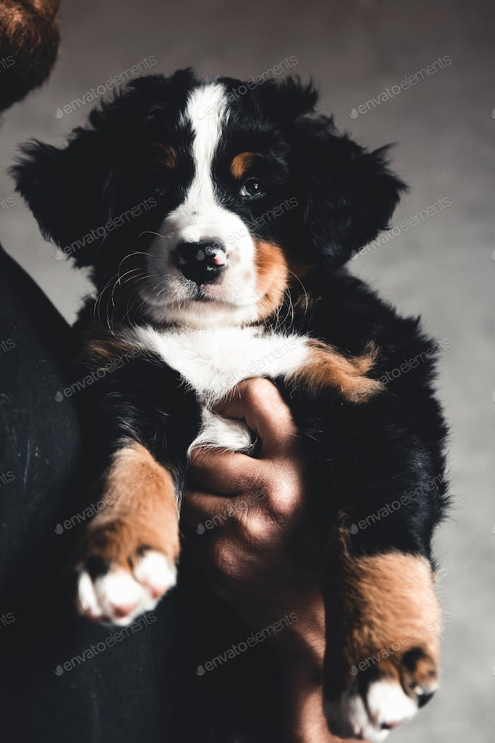 Young, Bernese Mountain Dogs in the hands. Concept of care, training and raising of animals