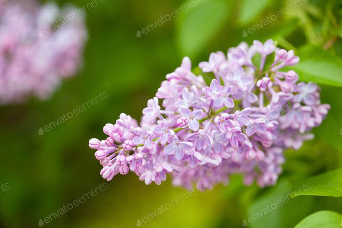 beautiful lilac flowers in garden