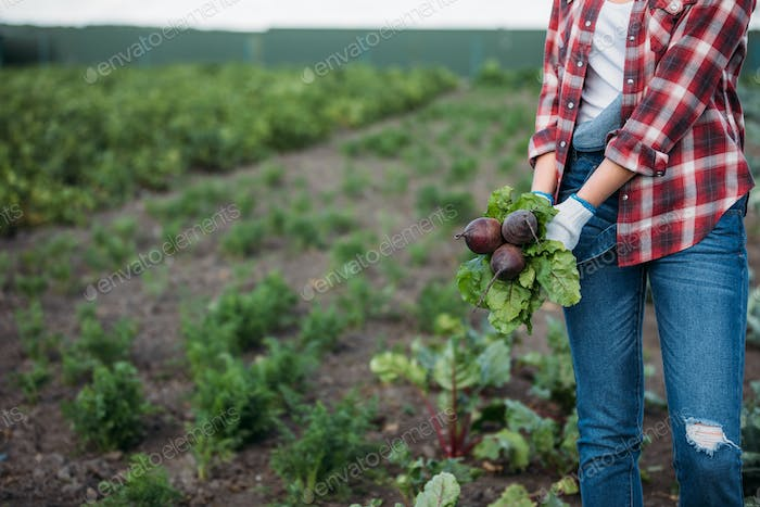 cropped shot of farmer in checkered shirt holding beetroots while working in field