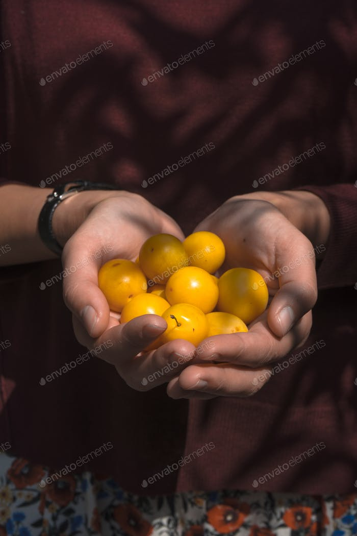 Yellow plums in the hands of a farmer on a brown background