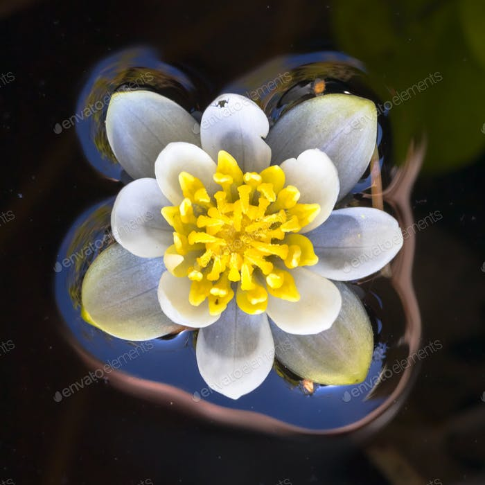 Blooming white waterlily