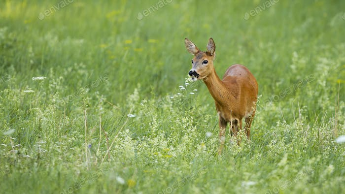 Curios roe deer doe grazing on green meadow with flowers with copy space