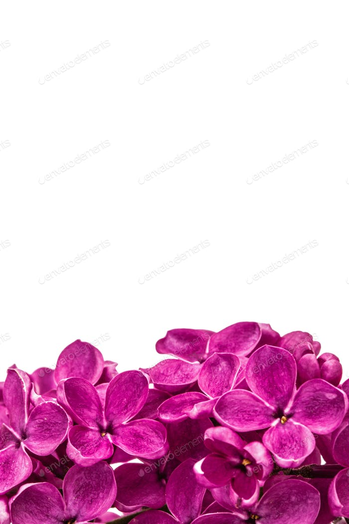 Purple flower lilac, Syringa vulgaris, isolated on white backgro