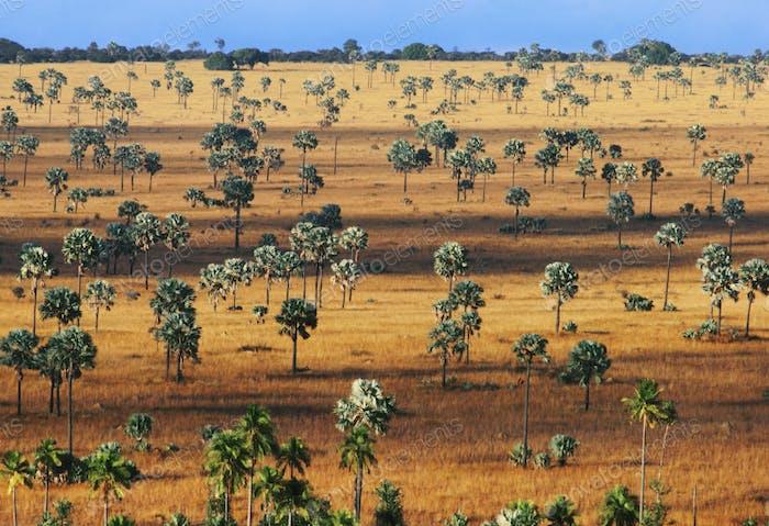 Palm savanna, a tree covered plain on Horombe Plateau, Southern Madagascar