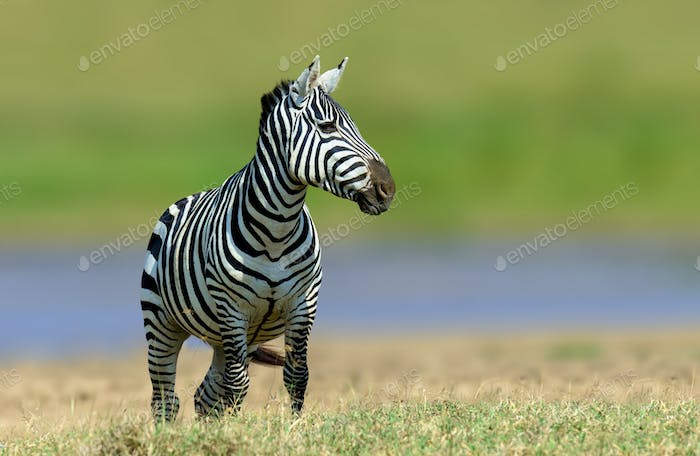 Zebra in the grass nature habitat, National Park of Kenya