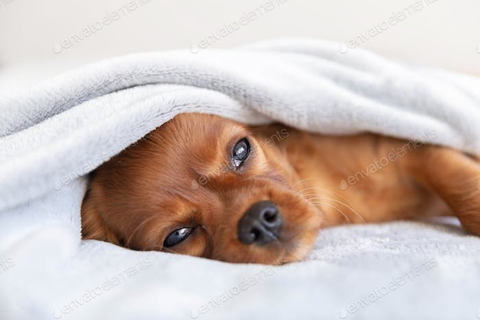 Cute puppy relaxing under the blanket