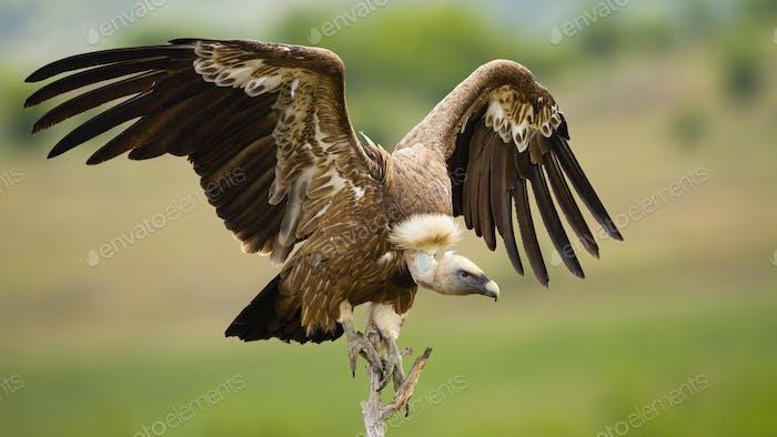 Gänsegeier Landung auf einer Barsch mit Flügeln im Sommer