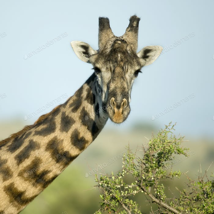 Close-up portrait of giraffe, Serengeti National Park, Serengeti, Tanzania